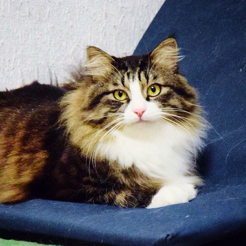 maine-coon-cats-and-kittens-4